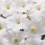 Petunia Express White - 50 Pelleted seeds